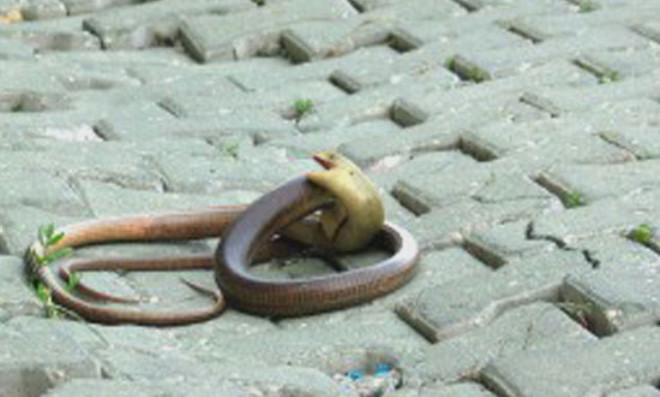 Yılanların Aşkı