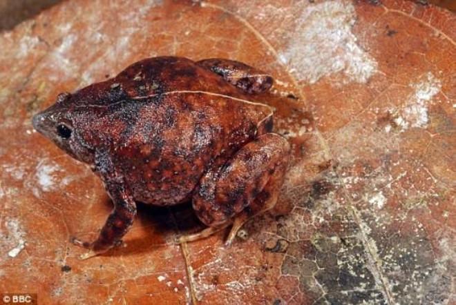 Sivri Dişli Kurbağa Bulundu